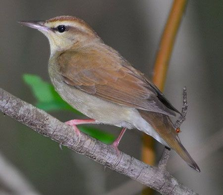 Vocally somewhat similar to Louisiana Waterthrush, the very local Swainson's Warbler is a classic southeastern specialty.