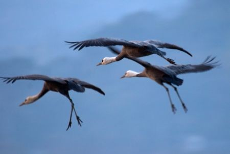...and Hooded Cranes...
