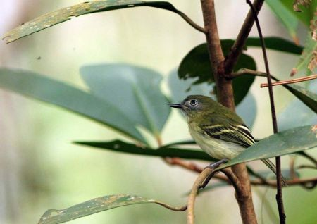 The White-eyed Tody-Tyrant is one of the common but very localized residents of habitats near Moyobamba.