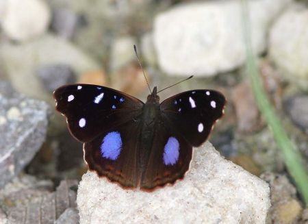 …and this stunner is a Salvin's Empress.