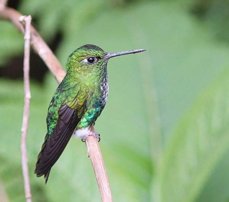 We'll spend some time relaxing at the lodge's feeders where should see Emerald-bellied Puffleg…