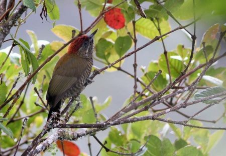 Bark-bellied Woodpecker is a high-elevation specialty we might see.