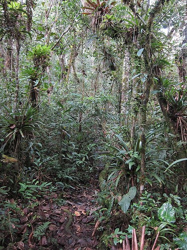 In the deeper valleys near our lodge is a more lush type of habitat, dripping with epiphytes where we'll look for antpittas and tapaculos.