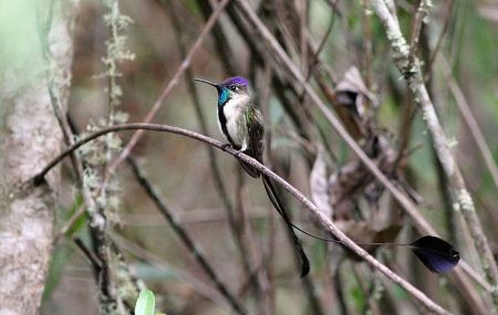 Only on these mid-elevation slopes, In a narrow band of semi-humid, short forest between the wetter upper slopes and the dry lower valleys can you find the unbelievable Marvelous Spatuletail.