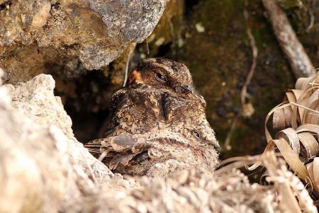 A brooding Lyre-tailed Nightjar might be one of our lucky sightings in the area; or we might come across one in our nocturnal birding outings.