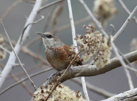 A large number of Peruvian endemics are possible, including Chestnut-backed Thornbird...