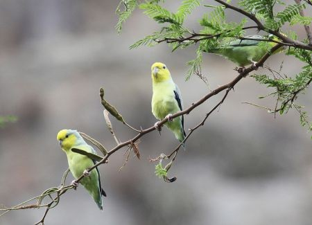 ...lovely Yellow-faced Parrotlets (found only in the upper Marañon valley)...