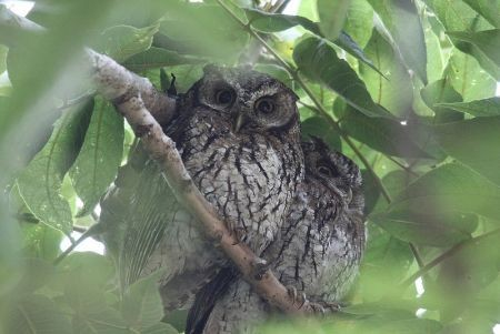 ...and Koepche's Screech-Owl, sometimes found on their day roost.