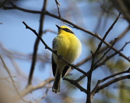 ...the brilliant Tumbes Tyrant, found only in dry forest in the northwest of Peru...