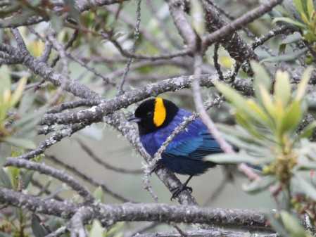 We'll be looking for very localized species, like Yellow-scarfed Tanager restricted to the Elfin Forest...