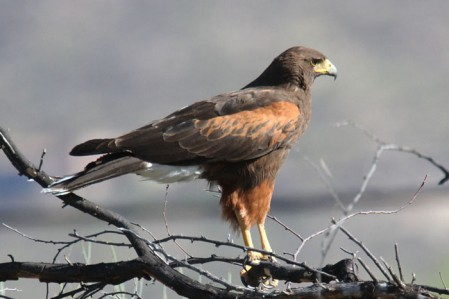 An adult Harris's Hawk searches for ground squirrels in the Sonoran Desert scrub.