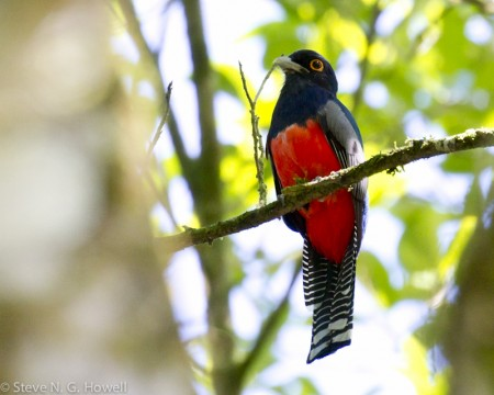 Right around our cabins we may find a Blue-crowned Trogon...