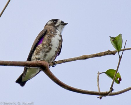 ...where we'll be at eye-level with the attractive little White-browed Purpletuft...