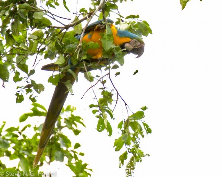 Most parrots are seen in flight, but we may find a Blue-and-yellow Macaw feeding quietly in the canopy.