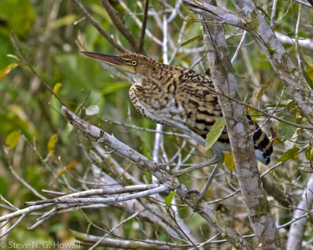 Perhaps we'll see a boldly patterned young Rufescent Tiger-Heron...