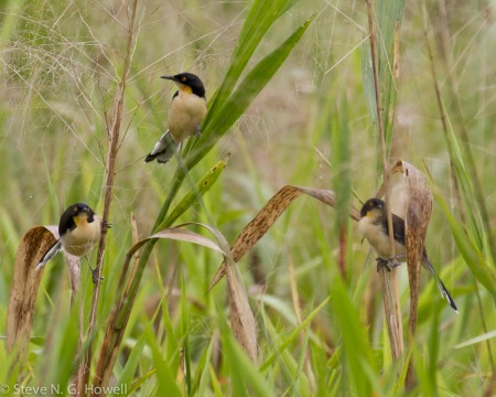 ...andwe'll certainly encounter the visually and vocally arresting Black-capped Donacobius.