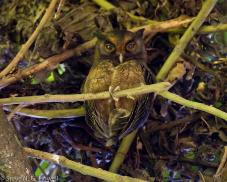 ...or perhaps a Tawny-bellied Screech-Owl peering from the shade...