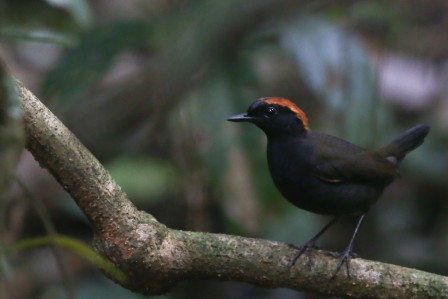 ...allowing us access to a different avifauna, perhaps including Rufous-capped Antthrush, (jf)