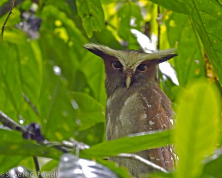 ...or even a majestic Crested Owl