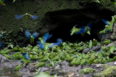 ...as well as clay licks that can swarm with Cobalt-winged Parakeets. (gb)