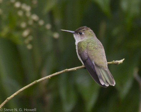 Including the understated Olive-spotted Hummingbird,
