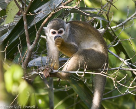 ...or the endearing Squirrel Monkey.