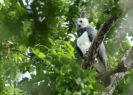 Harpy Eagle is a distinct possibility.