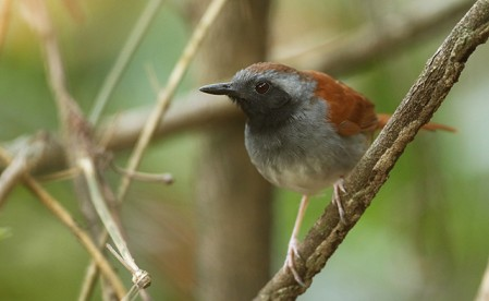 White-bellied Antbird is not always this easy to see.
