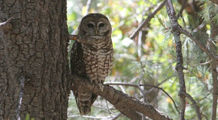 Spotted Owls are regular in SE Arizona's high canyons and usually we know where one can be found
