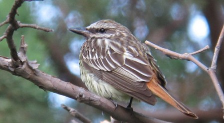 "Sulphur-bellied Flycatcher, one of most sought-after ""Arizona specialties."""