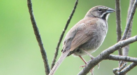 Five-striped Sparrow invades the U.S. in a tiny bit of Southeastern Arizona.