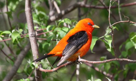 Scarlet Tanager, the iconic songbird in eastern deciduous forests.