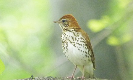 Marvelous Wood Thrush song will be all around us.