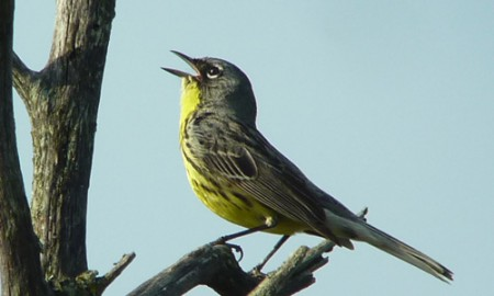 Superb views of Kirtland's Warbler are a defining moment of this tour.