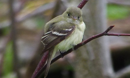Birds are often  very confiding as in the case of this Acadian Flycatcher.