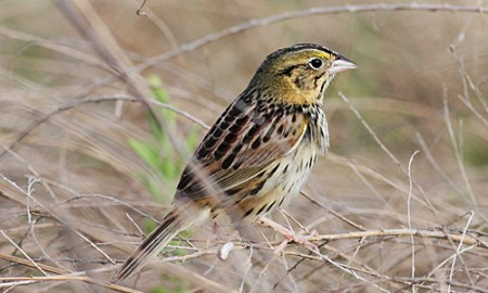 We'll explore several grassland and brushy field where Henslow's Sparrow is a prize.