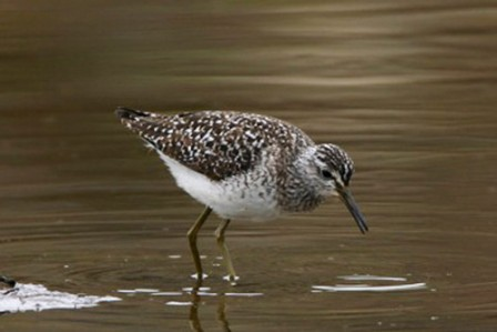 Our time in the Pribilofs often includes a vagrant bird or two, like this Wood Sandpiper.