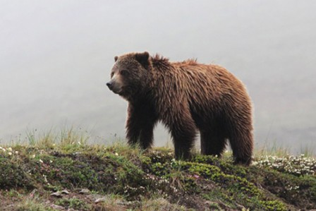 Grizzly Bears are regularly encountered around Denali National Park.