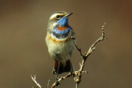 Dazzling male Bluethroats are vigorous singers in the willow thickets around Nome.