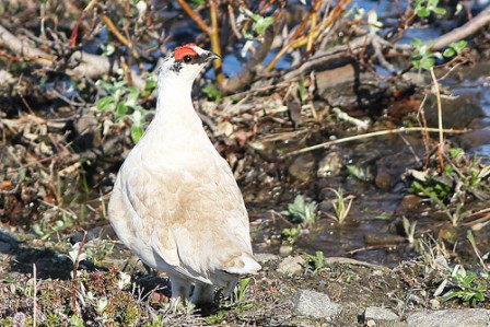 Male Rock Ptarmigan can sometimes be spotted along the Nome road system.
