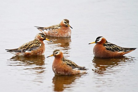 Barrow offers unparalleled opportunity for photographing breeding waders like these elegant Red Phalarope.