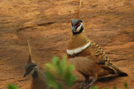 Around Alice Springs we'll look for the colorful and bizarre Spinifex Pigeon.
