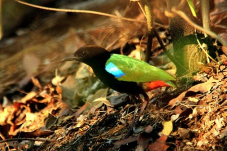 Darwin will bring us more humid forests, with Rainbow Pittas strutting around in the understorey.