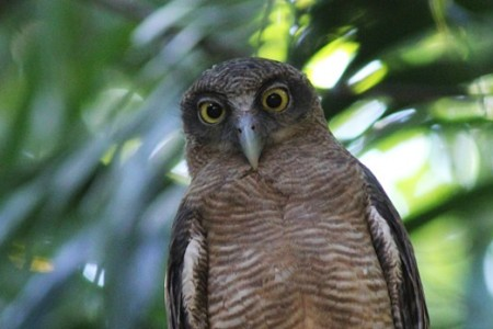 In the suburbs of Darwin we might find an impressive Rufous Owl eying our progress down the trails.