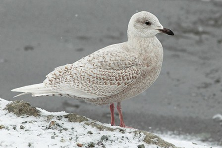 Iceland Gulls by the hundreds are one of the tour's main attractions.