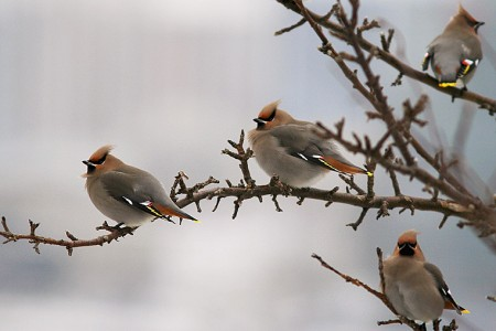 Bohemian Waxwings are often present, sometime in good numbers.