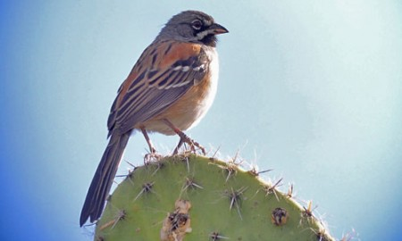 Bridled Sparrow is a handsome endemic of the semi-desert intermontane valleys of southern Mexico.