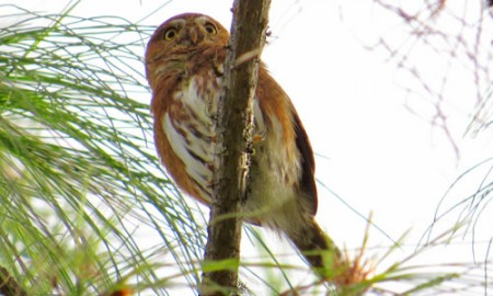 Northern Pygmy-Owls inhabit the lush pine-oak forests of Oaxaca's higher elevations.