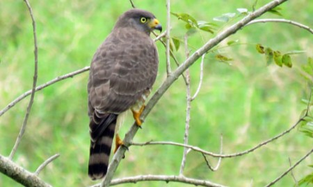 Our tour includes a side trip to the more tropical Gulf of Mexico lowlands where Roadside Hawk lives up to its name.