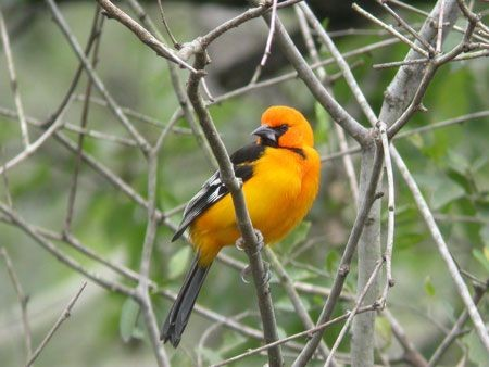 We'll travel up the Rio Grande Valley's riparian corridor seeking specialties like North America's largest oriole, the Altamira... (mo)